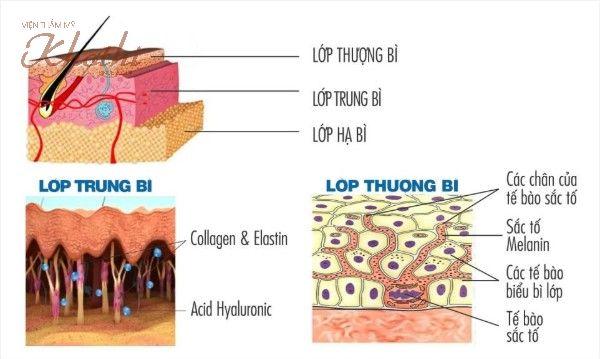 Collagen và elastin tập trung nhiều nhất ở lớp trung bì