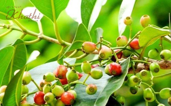 Trong lá vối chứa nhiều hợp chất tốt cho việc giảm cân, thanh lọc cơ thể