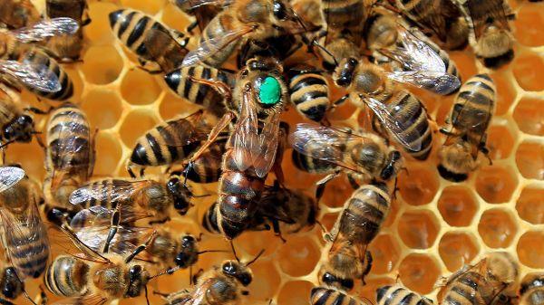 Ong chúa cần được nuôi dưỡng bằng sữa để có thể sinh sản mạnh mẽ
